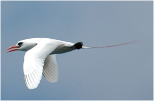 The red-tailed tropic bird